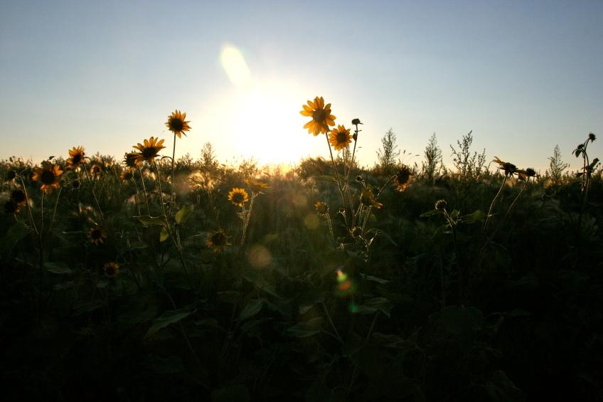 Sunflowers At Dusk On Tiber Dam