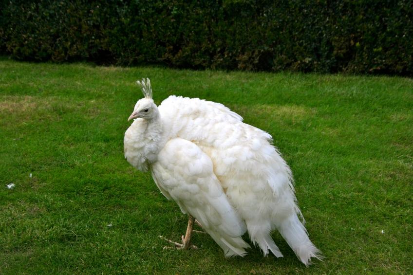 White Peacock Prague