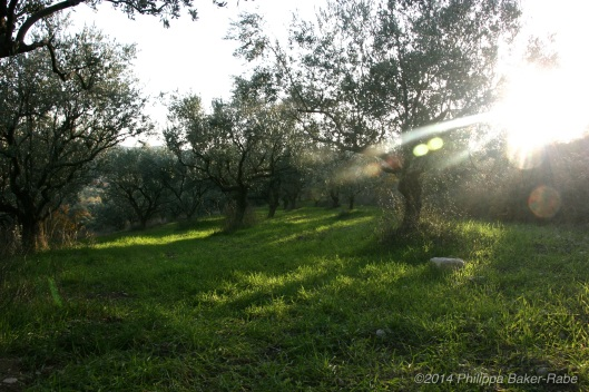 Olive Trees France Lagorce Ardeche Farm