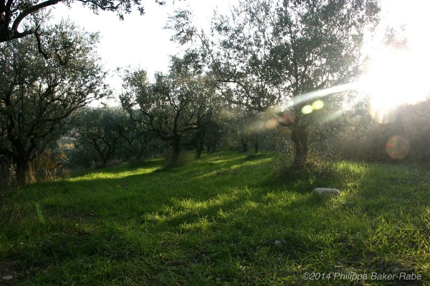 Olive Trees France Lagorce Ardeche Farm