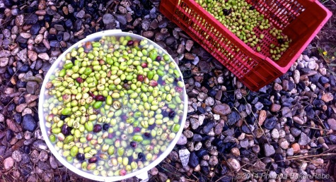 Green Olives Harvest France Farm